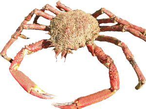 Mediterranean Spider Crab (Maja Squinado)