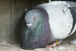 The Mallorcan pigeon