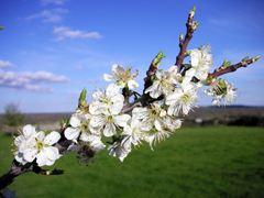 Die Mallorquinischen Mandelbäume ein Wahres Naturschauspiel