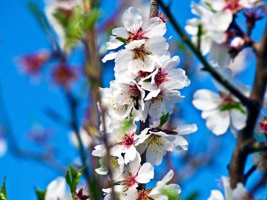 flor-ametler-masmallorca