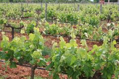 Mallorcan Wine, a rising sector