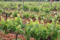 El vino mallorquín, un sector en auge