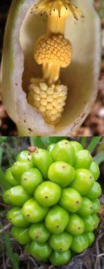 Arum pictum L.
