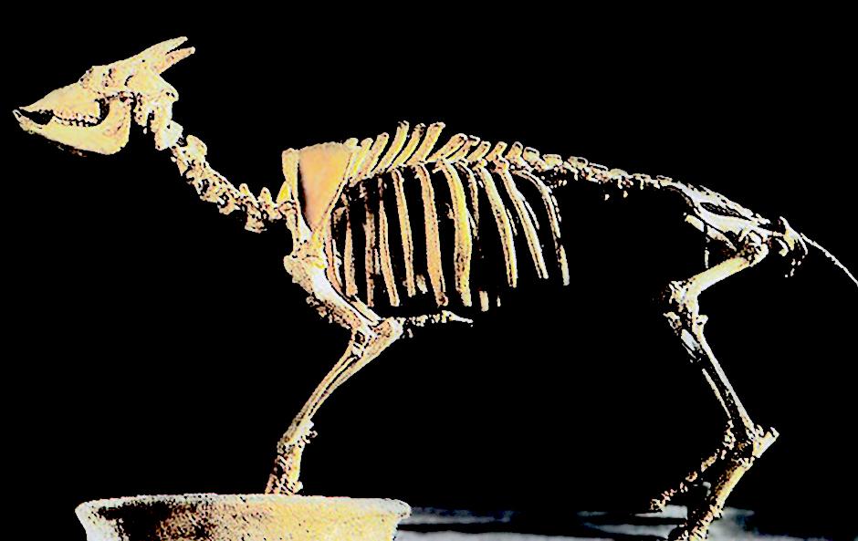 Der auf Mallorca einheimische Myotragus Balearicus