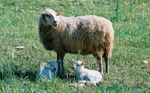 The white Mallorcan sheep