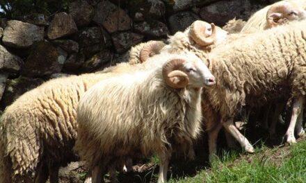 Das weiße Mallorquinische Schaf