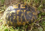 tortuga mediterrània (Testudo hermanni)
