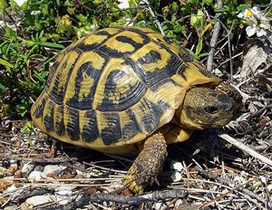 The Mediterranean turtle, Testudo Hermanni