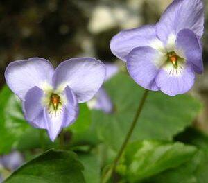 Viola jaubertiana