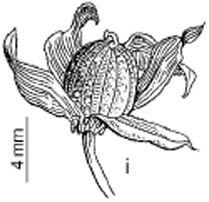 Viola-jaubertiana_4