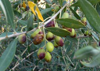 Mallorcan Olive Oil