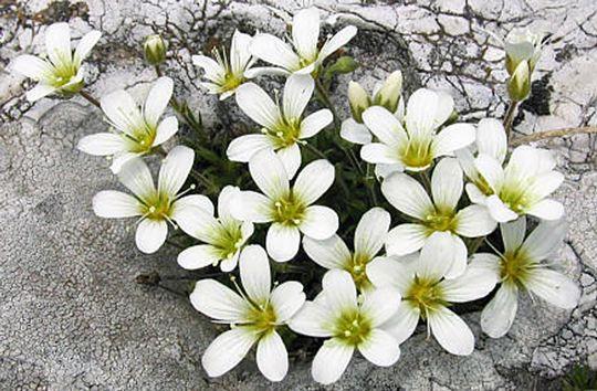 Arenaria Grandiflora subsp. bolosii