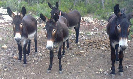 The Mallorcan Donkey