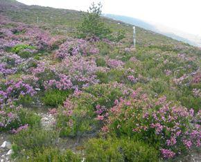 Flora de Mallorca, Brezo