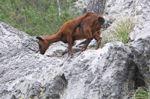 The wild Mallorcan goat