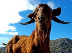 Cabra salvatge mallorquina