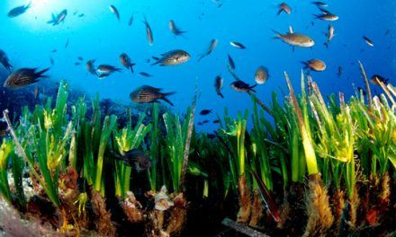 The Posidonia Oceanica