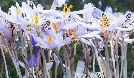 Wild saffron