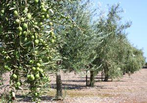 Aceite de oliva Solivellas y Oli s'Illa, Mallorca