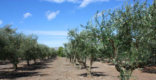 Оливковые масла и Оли Solivellas s'Illa, интенсивность и аромат Майорке