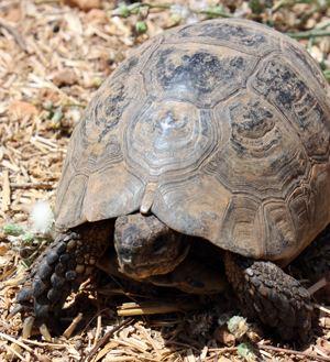 Thighed Tortoise / testudo graeca