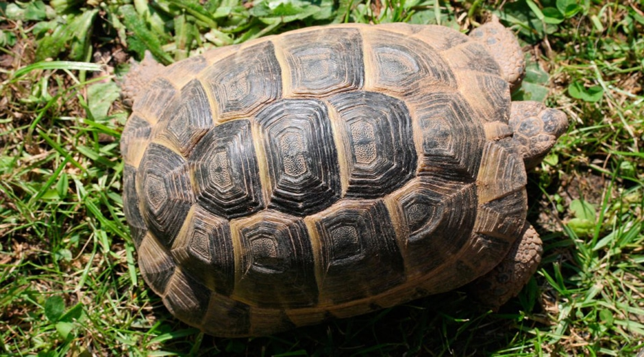 Thighed Tortoise