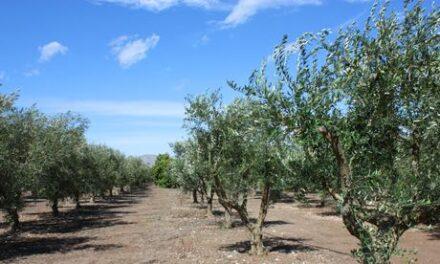 Aceite de oliva de Mallorca