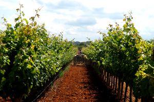 Vino de Binissalem Mallorca - Denominación de Orígen