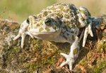 Green Toad, Bufo viridis balearica
