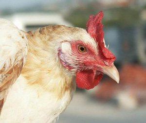 Die mallorquinische Henne