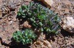 Filago petro-ianii, endémica de Mallorca