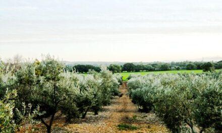 Olivenöl Extra Virgen Jornets