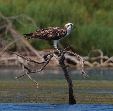 Águila pescadora, Mallorca