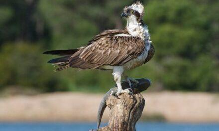 Osprey – Pandion haliaäetus