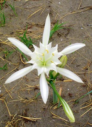 Seelilie (Pancratium maritimum L.)