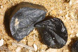 lirio-de-mar-planta-endemica-mallorca-6