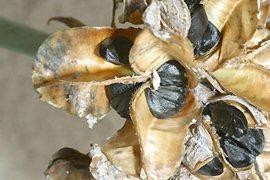 lirio-de-mar-planta-endemica-mallorca-7