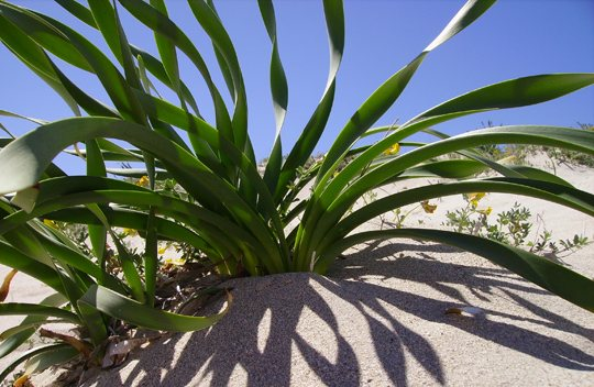 Sea Daffodil (Pancratium maritimum L.)