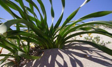 Lirio de mar (Pancratium maritimum L.)