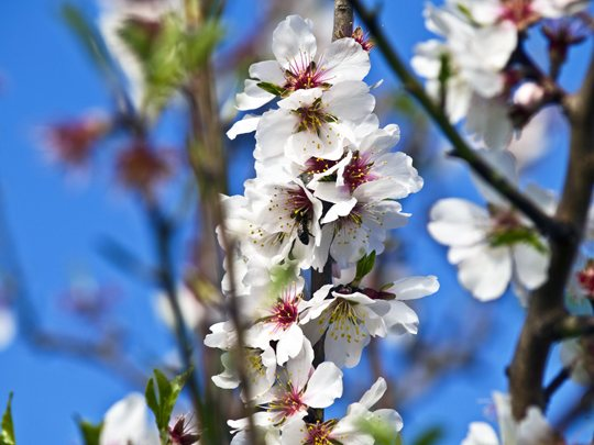 The spectacle of mallorcan almond trees