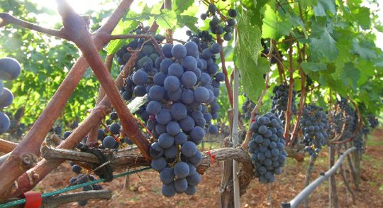 Es Verger, aceite y vino ecológico de Mallorca, Esporles