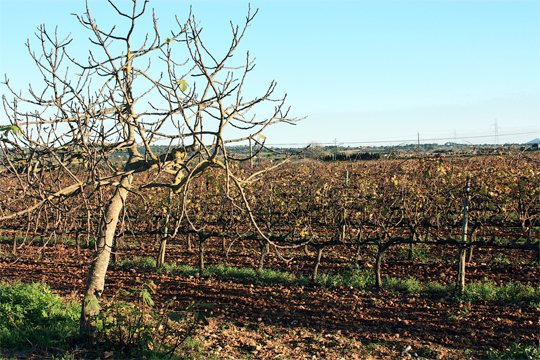 Vins Can Coleto siembra Mallorca  con sus mejores  caldos