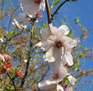 Mallorca-Fruits-almendros-mallorquines-flor-almendro