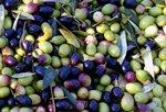 aceite-predio-son-quint-Olivenol-olive-oil-1
