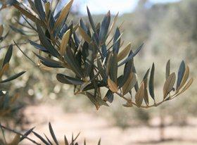 aceite-predio-son-quint-Olivenol-olive-oil-5
