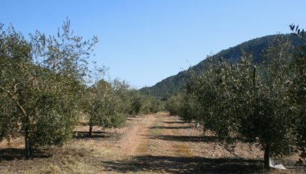 Son Quint Farmhouse Oil, the liquid gold of the Serra de Tramuntana