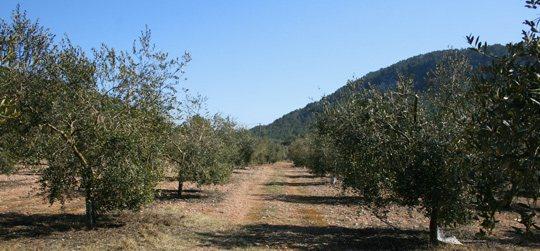 Extra virgin olive oil Predio Son Quint
