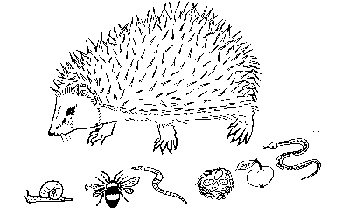 erizo-de-mallorca-mallorcan-hedgehog-2