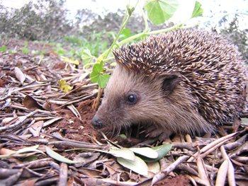 erizo-de-mallorca-mallorcan-hedgehog-3
