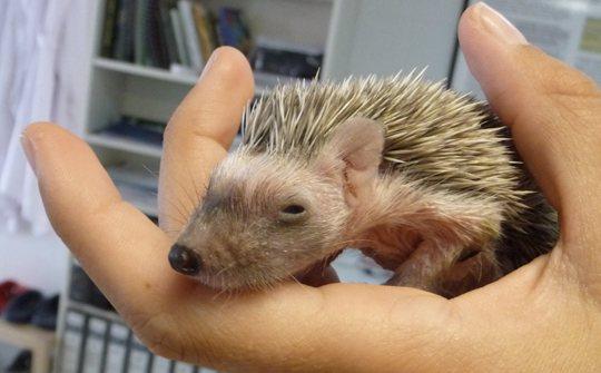 erizo-de-mallorca-mallorcan-hedgehog-5